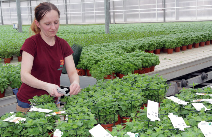 Significant amounts of peat are used in growing media for potted organic herbs. Can this be replaced by alternative substrates, such as composted horse manure? (Photo: Anita Land)