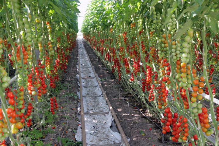 Økologiske Tomater I Drivhus Foto A Land Img 1232 (Photo: Anita Land)