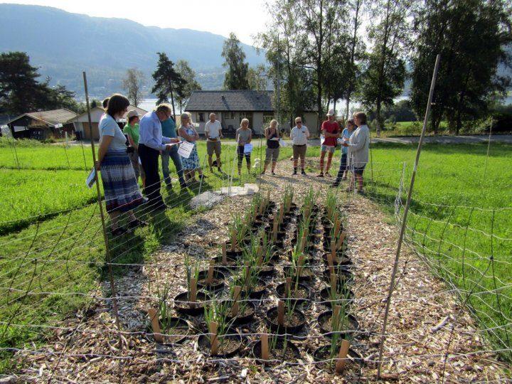 Purreplanter i potter med jord gjødslet med kalksalpeter, tørket fiskegrakse, tørket hønsegjødsel og fersk algefiber, Tingvoll 28.8.2019.  (Foto: Ishita Ahuja)