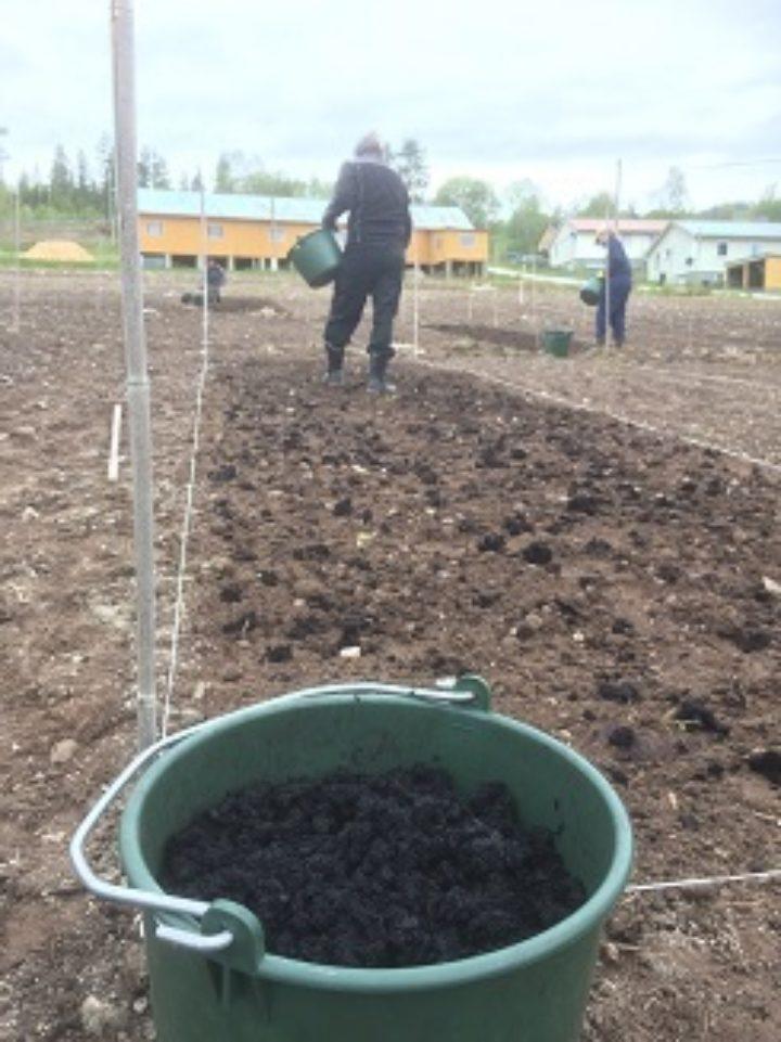 Algefiber klargjort til spredning i forsøksfelt på Tingvoll gard, mai 2019.  (Foto: Anne-Kristin Løes)