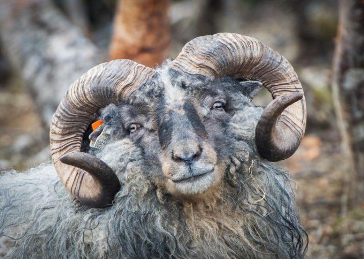 Førsteklasses ull har lenge vært ensbetydende med hvit ull, siden denne ulla er enklere å farge til riktig fargekode. Men farget ull fra verneverdig raser, som gammelnorsk spelsau, blir stadig høyere verdsatt. (Foto: Åse Tronstad, Tingvoll Ull)