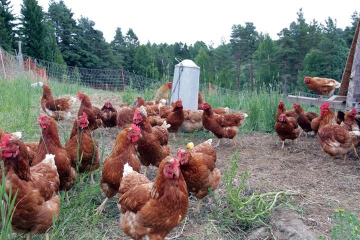 Kyllingar og høns si naturlege åtferd er å sparke i jorda og nappe insekt. (Foto: Anita Land)