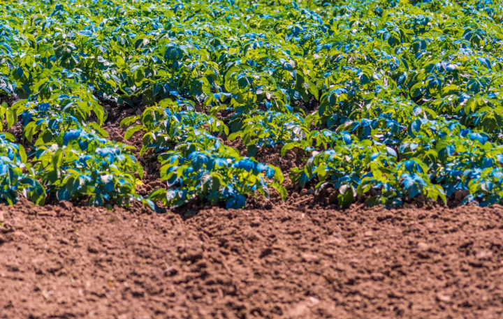 Potatoes sprayed with Copper Sulfate. Copper sulfate can be used as a fertilizer or fungicide. It is commonly used by gardeners and commercial farmers (Photo: Dimitris Vlassis / Alamy Stock Photo)