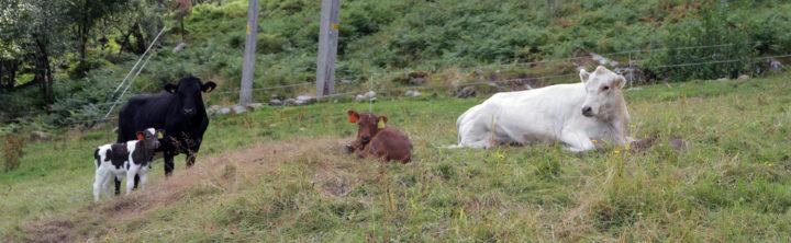 At kalven får gå sammen med kua lengst mulig er god dyrevelferd, men hvordan få det til? (Foto: Anita Land)