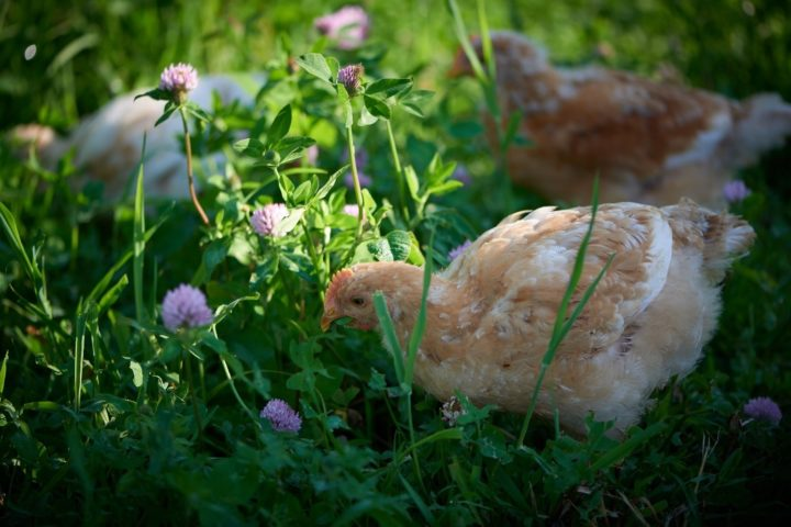 Chickens eating clover outside. (Photo: Steffen Adler)