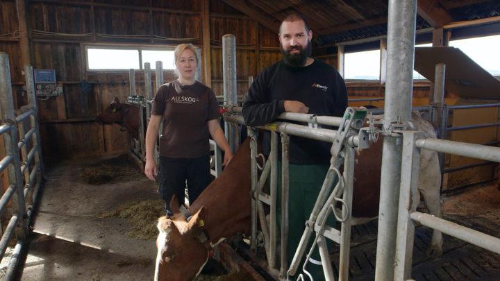 Ingvild Rekstad og Jørgen Soknes  ved  Skaugn Økosamdrift lar de kalvene gå sammen med «ammetanter» den første tida etter råmelksperioden. (Foto: Tommy Rustad)