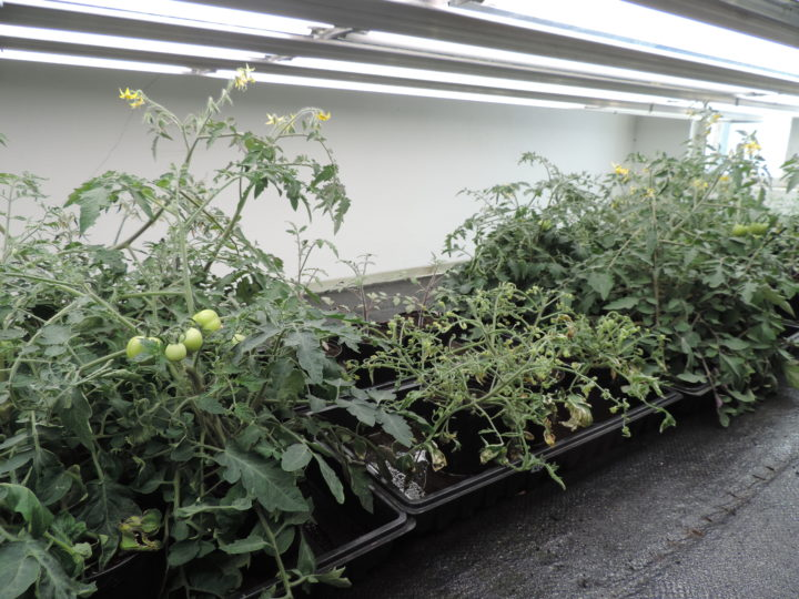 The tomato plants in the middle tray were severely stunted after application of a fertiliser containing clopyralid.  (Photo: Kirsty McKinnon)