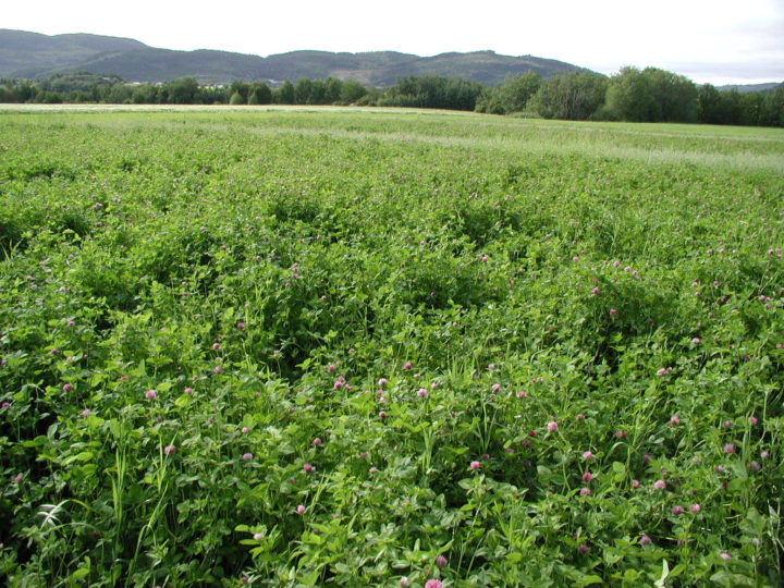 Clover often dominate in young grass-clover ley and then disappear after a couple of years (Photo: Sissel Hansen)