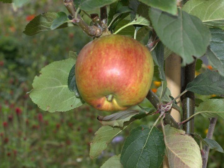 Pressede epler blir deilig eplejuice! (Foto: Susanne Friis Pedersen)