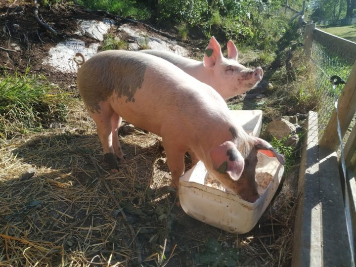 Organic pigs at Tingvoll gard (Foto: Rosann Johanssen)
