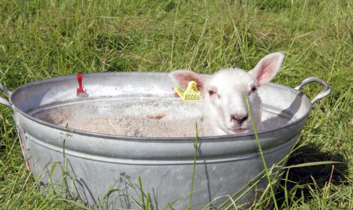 I prosjektet ble det samlet inn ullprøver fra lam i ulike miljø. (Foto: Anita Land)