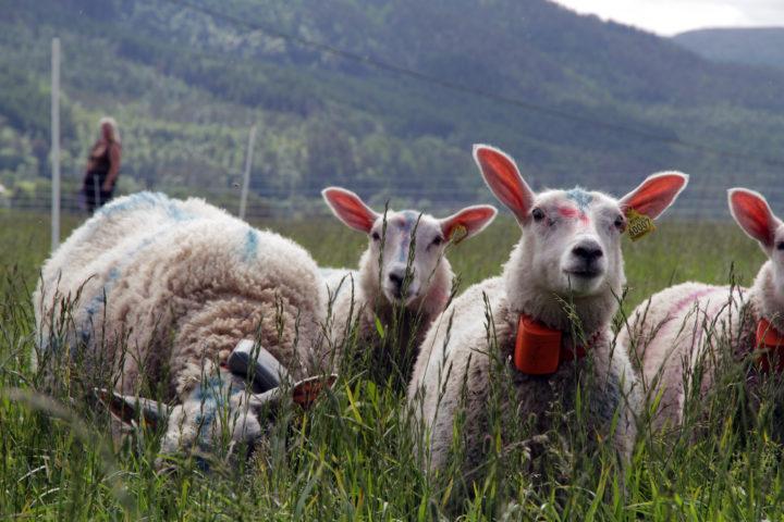 Allereie no er det system med GPS-sporing av husdyr på utmarksbeite, men ved NORSØK arbeider ein med prosjekt der ein også skal kunne overvake helsa til dyra (Foto: Anita Land)