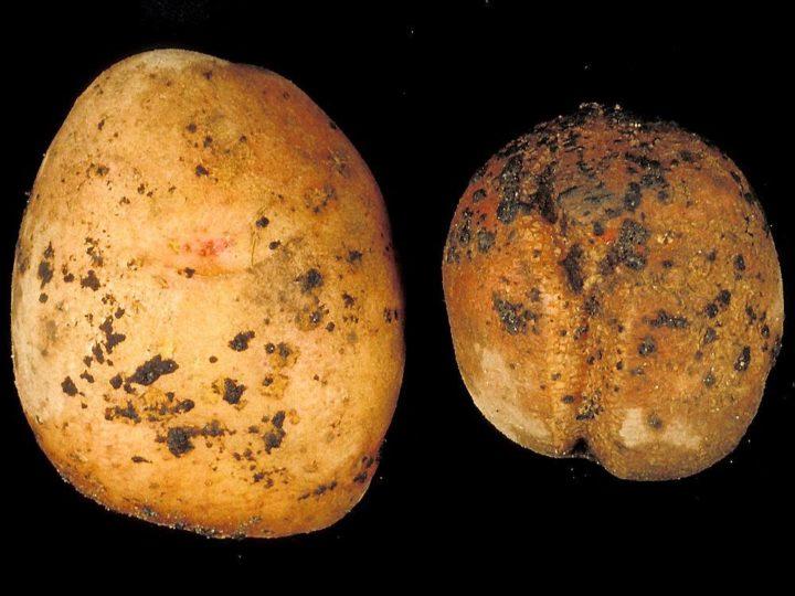 SKURV: Denne soppsykdommen kan ødelegge potet og ris fullstendig, og er en av de største problemene i potetdyrking. (Foto: R. Langnes, Planteforsk)