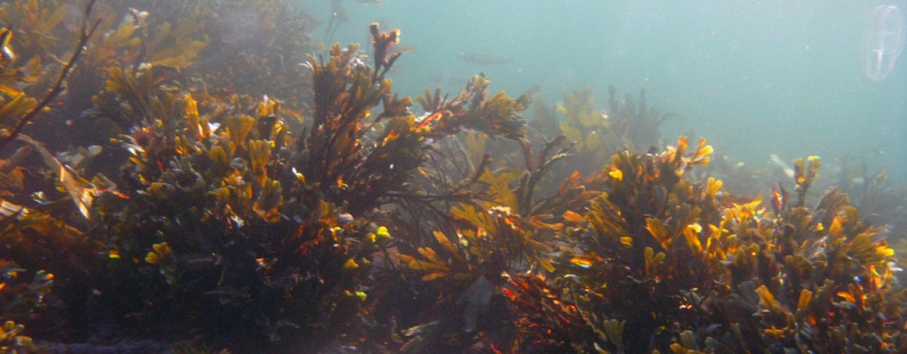 Seaweed may be grown and harvested for fertilization (Photo: Annelise Chapman)