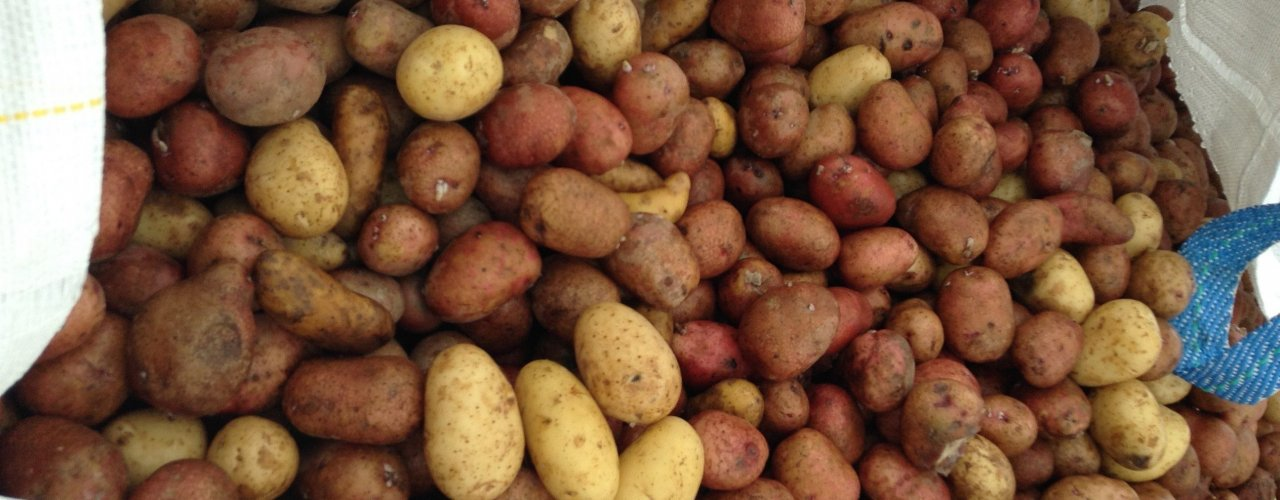 Poteter har god fôrverdi men lav økonomisk verdi. (Foto: Steffen Adler)