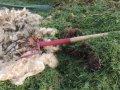 Ull blandet med gressklipp i kompost (Foto: Kirsty Mckinnon)
