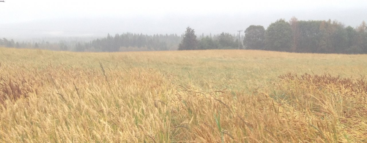 There is a large diversity in the appearance of grains, here from a field experiment at Bjerkem farm in Trøndelag, 2017.  (Photo: Torunn H. Bjerkem, Gullimunn AS.)