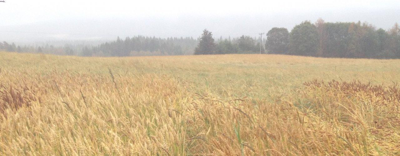 Korn er ikke bare korn! Det er stor variasjon i utseendet til vårhvetesorter dyrket i Trøndelag, her i 2017 på Bjerkem ved Steinkjer.  (Foto: Torunn H. Bjerkem, Gullimunn AS.)