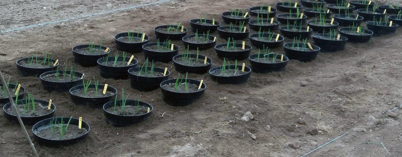 Pottene etter planting av purre 24.5.2019 (Foto: Ishita Ahuja)