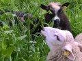 Sikoriplanten har effekt mot parasitter hos lam. (Foto: Kristin Søtheim)
