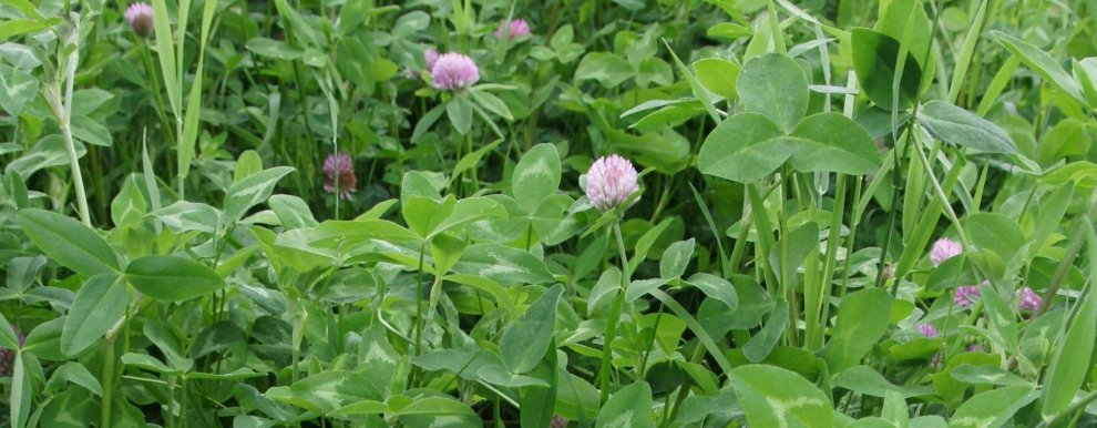 Red clover improve soil fertility, and is important to sustain in grassland (Photo: Sissel Hansen)