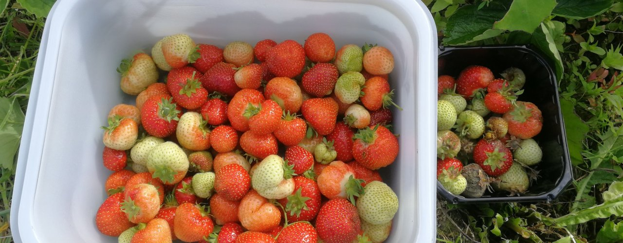 Strawberries treated with ozonated water, fresh berries to the left and berries with botrytis to the right. (Photo: Atle Wibe)