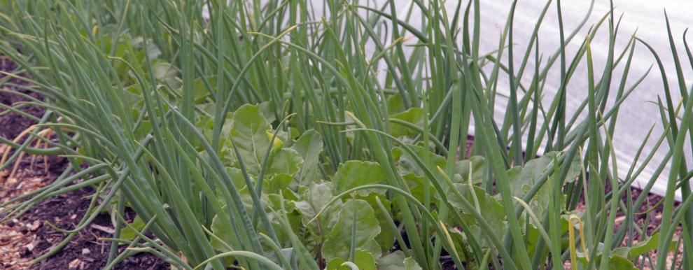 Det er stor risiko for utslipp av lystgass når det tilføres store mengder planterester som har et høyt innhold av nitrogen og karbohydrater som er lett tilgjengelig for organismene i jorda. Salat og hvitkløver er eksempler på vekster med mye lett nedbrytbart nitrogen, mens poteter, sukkerbeter og kålvekster inneholder mye lett nedbrytbare karbohydrater.  (Foto: Anita Land)
