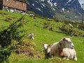 Ved hjelp av sauen får vi kjøtt og fiber fra utmarka.  (Foto: Rose Bergslid)