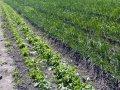 Økologisk grønnsaker på friland. (illustrasjonsfoto) (Foto: Anita Land)