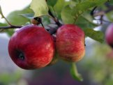 I tillegg til pressing vil birøkter Joshua Fenton Cabell fortelle om hvorfor pollinerende insekter er viktig for epler og annen frukt. (Foto: Anita Land)