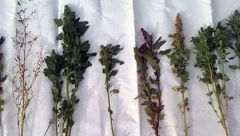 Quinoa  Wp 20151008 002
