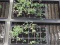 Erte- og tomatplanter fikk tilført gjødsel med rester av klopyralid i ulike konsentrasjoner.  (Foto: Kirsty McKinnon)