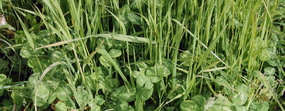 Kvaliteten på graset er viktig i  graslandet Norge.  Blanding av kløver og gras gir god vekst og god kvalitet på foret.  (Foto: Sissel Hansen)